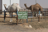 Shy camels