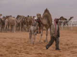 The baby camel story (1/8): On show