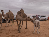 The baby camel story (2/8): Reassurance