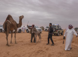 The baby camel story (4/8): Grabbed
