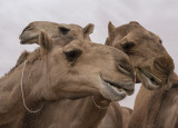 More! (and why they shave camels)