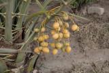 An abundance of dates (4)