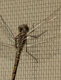 Screen door visitor (2)