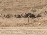 Wadi Hanifa: Unexpected residents