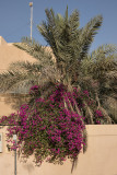 Flowering palm or frondy bougainvillea