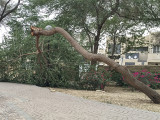 The tree that leaned too far