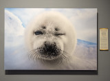 'Harp Seal' by Gunther Riehle