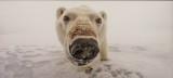 'Polar Bear,' by Jon Cornforth