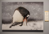 'Gentoo Penguin and Chick,' by Role Galitz