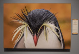 'Northern Rockhopper Penguin,' by Denise Ippolito