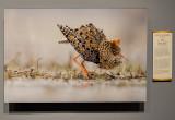 'Male Ruff Display,' by Niko Pekonen