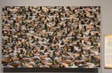'Eared Grebes,' by Steve Torna