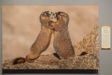 'Yellow-bellied Marmots,' by Russ Burden