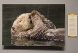 'Sea Otter,' by Jess Findlay