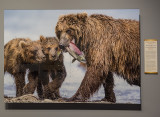 'Brown Bear and Cubs,' by Marco Urso