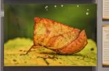 'Hooded Grasshopper,' by Vishwanath Birje