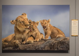 'Lioness and Cubs,' by Russ Burden