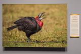 'Southern Ground-Hornbill,' by Hannes Lochner