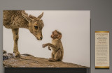 'Nilgiri Tahr and Bonnet Macaque,' by Agasthya Karthikeyan
