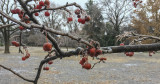 Iced crabapples