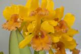 Sunshine orchids