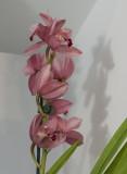 A familiar orchid