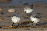 Sanderling - maybe they're trying to tell me something?