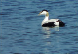 Common EIder - Ejder.jpg
