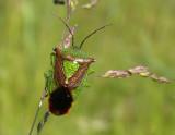 Skinnbaggar - Heteroptera