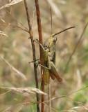 Chorthippus apricarius - Solgräshoppa.jpg