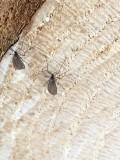 Sciaridae - Sorgmyggor (3mm)