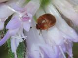 Glansbaggar - Nitidulidae