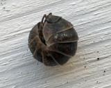Armadillium vulgare.jpg