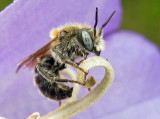 Bees  - Sweden