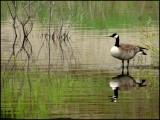 Good Goose sm.jpg