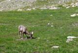 Big Horn Sheep near Summit Lake