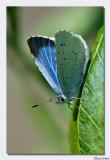 a_D801351 Dwergblauwtje.jpg