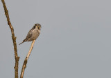 Northern Hawk Owl - Sperweruil