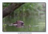 Beaver - Bever