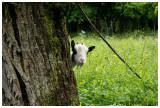 una capra curiosa