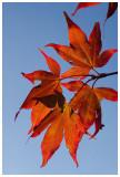 Acer purpureum