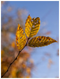 Common Hornbeam