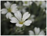Cerastium fontanum subsp. vulgare