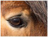 a Belgian draft horse