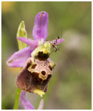 Ophrys fuciflora subsp. dinarica
