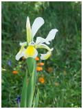 Iris sibirica alba
