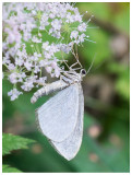 Geometridae sp.