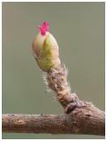 Flowering Hazel bud