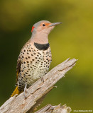 NorthernFlicker07c9051.jpg
