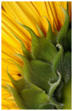 store_bought_sunflower